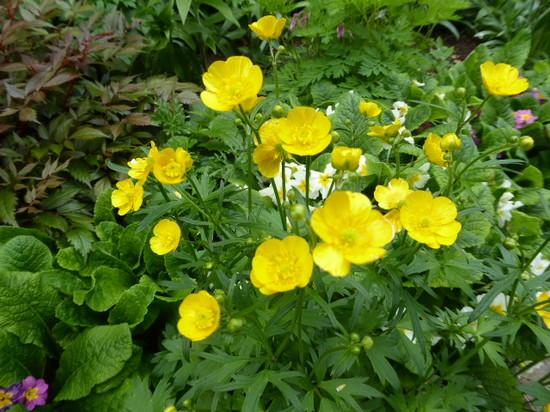 ① キンポウゲ科の花.JPG