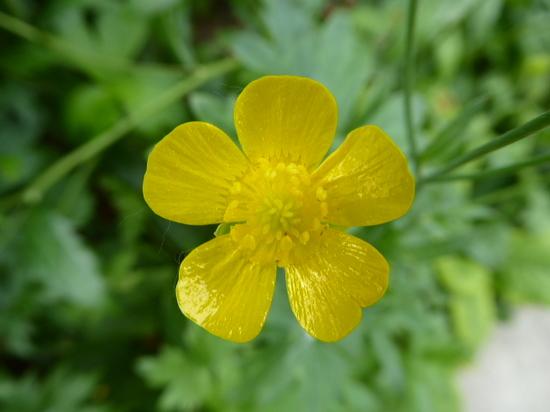② キンポウゲ科の花 .JPG