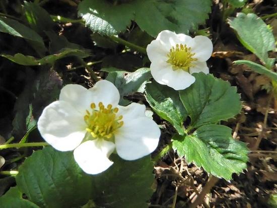 苺の花.JPG